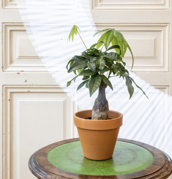 pachira aqatica money tree